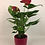 Thumbnail: Antoryum - Anthurium Çiçeği