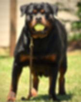 DKV-Rottweilers-Gypsy-1a.jpg