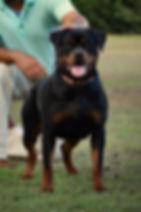 DKV-Rottweilers-Loca-1a.jpg