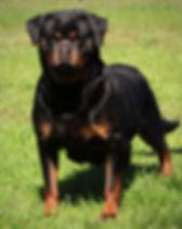 DKV-Rottweilers-Doxa-1a.jpg
