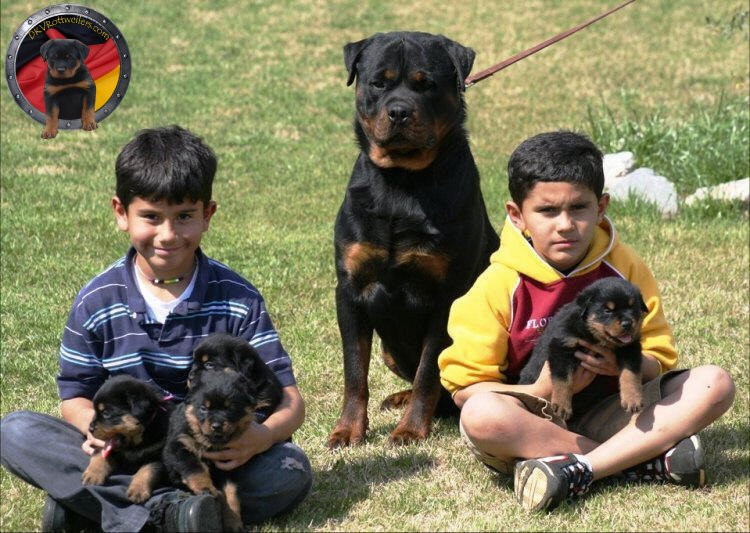DKV-Rottweilers-Family-7