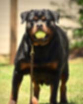 DKV-Rottweilers-Gypsy.jpg