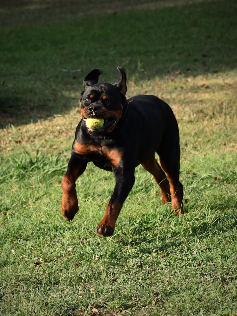 DKV-Rottweilers-Rico-Suave-Von-Der-Korpe