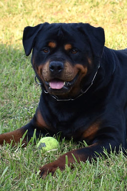 DKV-Rottweilers-Sila-1