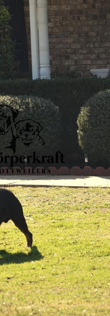 DKV-Rottweilers-Italian-Stallion-Von-Der