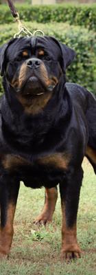 DKV-Rottweilers-Conan-Von-Der-Korperkraf