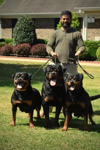 DKV-Rottweilers-Breeder-11