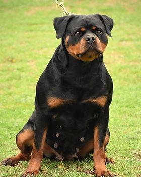 DKV-Rottweilers-Elga.jpg