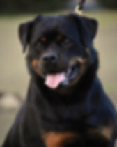 DKV-Rottweilers-Roxanne.jpg