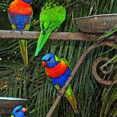 Parrots, Gold Coast, Australia