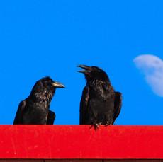 Ravens in Juneau, Alaska
