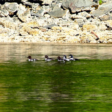 Duck Family, Alaska