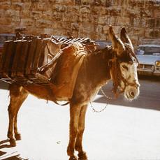 Donkey in Jerusalem, Israel