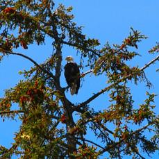 Watching Eagle, Alaska