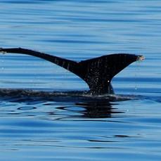 Whale Tail, Alaska