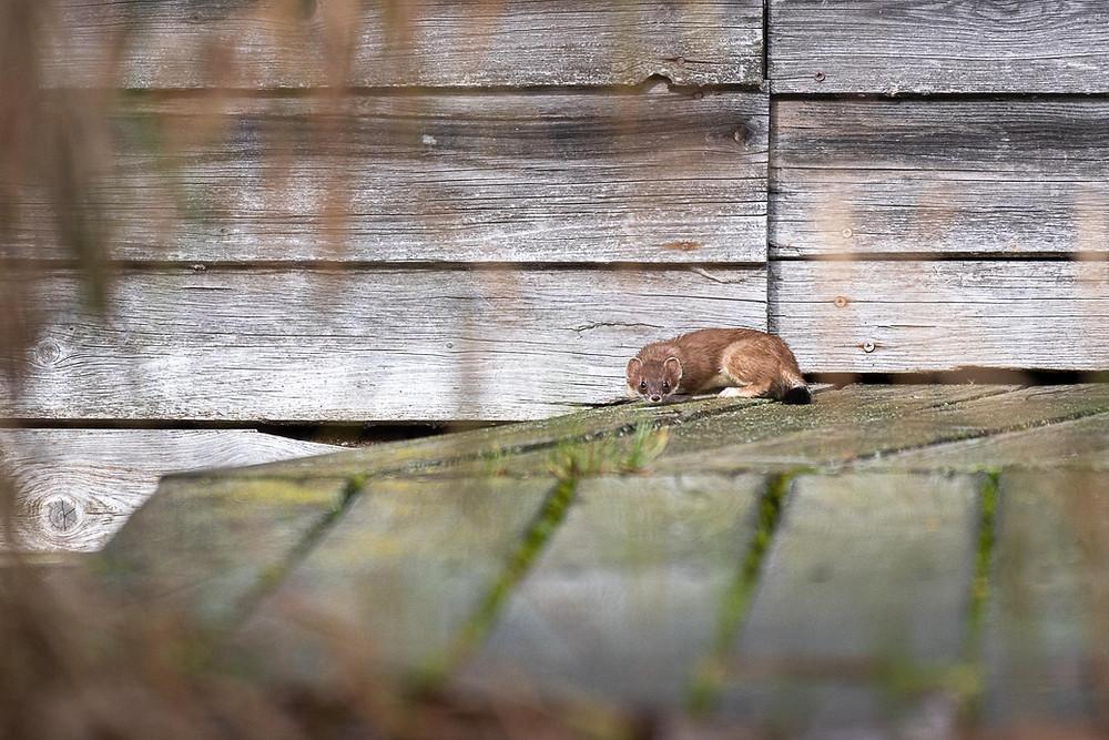 Mauswiesel am Steg