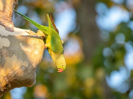 Wilde Papageien in Wiesbaden und Umgebung