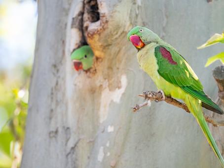 Wilde Papageien in Deutschland - Brut der Alexandersittiche in Eltville
