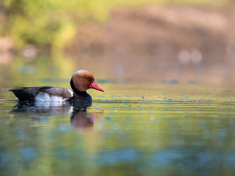 Wasservögel in Nürnberg