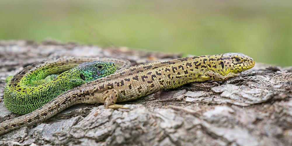 eine weibliche (gelbbraun) und männliche (grün) Zauneidechse