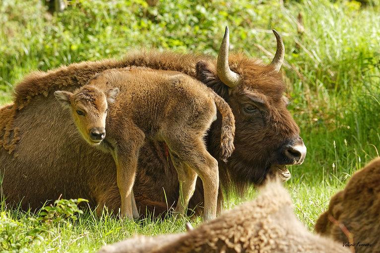 Bisons Suchy_Naissance bisonne 26-05-202