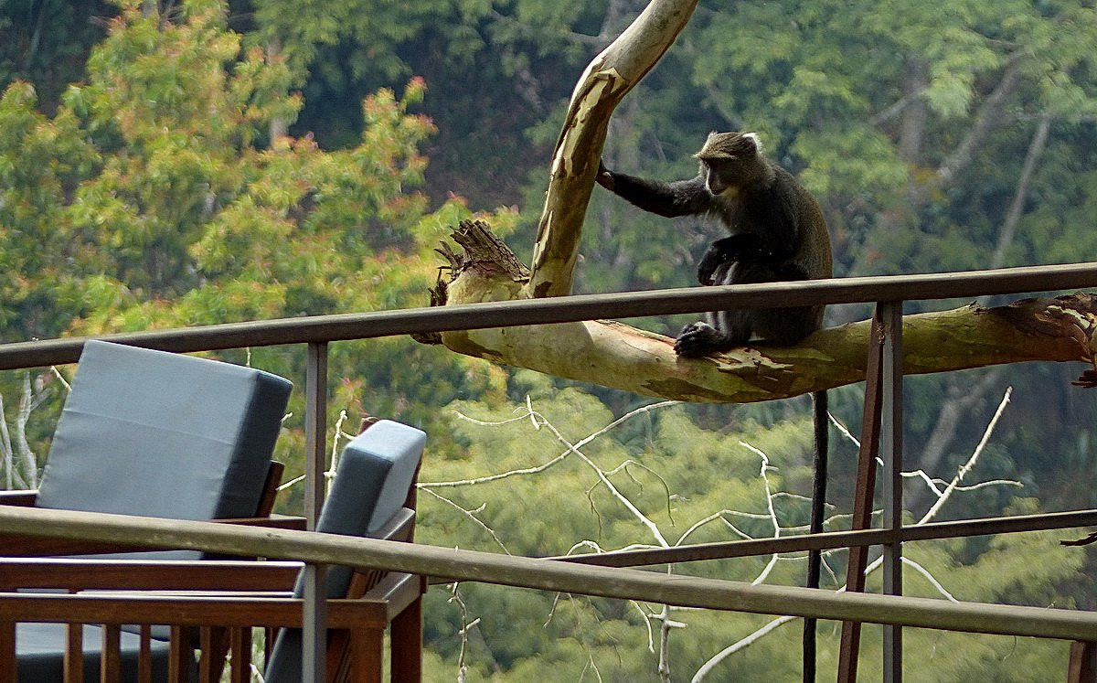 Monkeys at The Deck Kaliwa Lodge