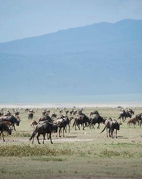 Ngorongoro Crater_Wildebeast_2.jpg