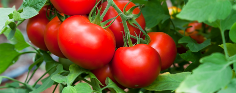 homegrown tomatoes.png