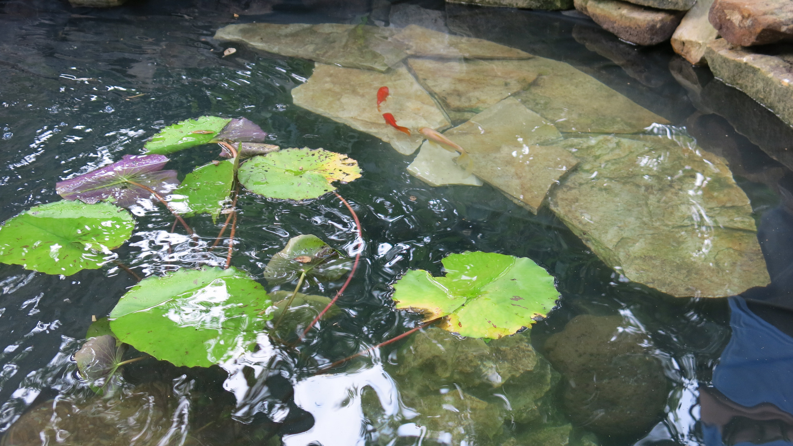 34-Water Fills Over Interior Shelf as GoldFish Swim