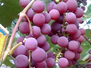 Виноград Люсиль (горшок 3л)