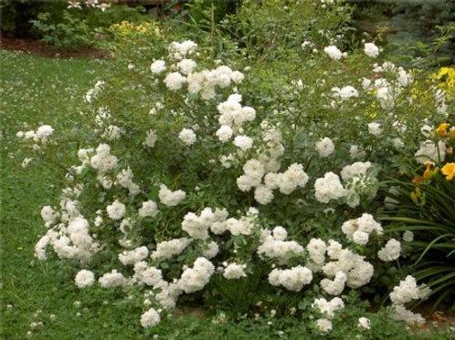 Роза почвопокровная Свани (горшок 5л)