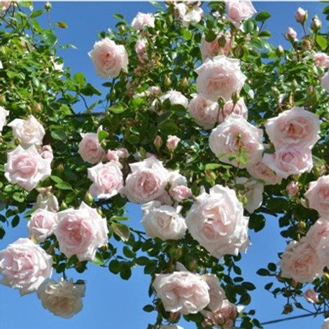 Роза плетистая Нью Даун (горшок 5л)