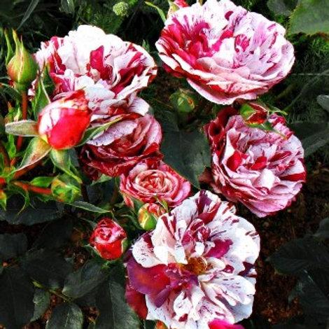 Роза флорибунда Нью Имейджн (горшок 5л)