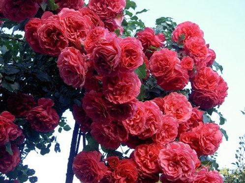 Роза плетистая Розариум Ютерсен (горшок 5л)