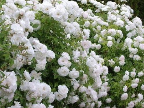 Роза плетистая Айсберг (горшок 5л)