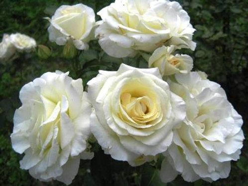 Роза плетистая Шнеевальцер (горшок 5л)
