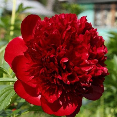 Пион травянистый Ред Чарм  (горшок 5л)