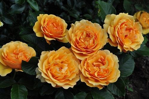 Роза флорибунда Амбер Куин (горшок 5л)