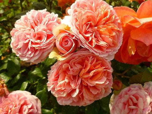 Роза шраб (кустарниковая) Чиппендейл (горшок 5л)