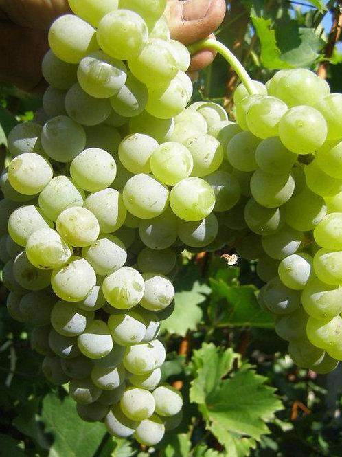 Виноград Цветочный (горшок 2л; 2-х летка)