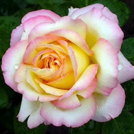 Роза чайно-гибридная Пис (Глория Дей) горшок 5л