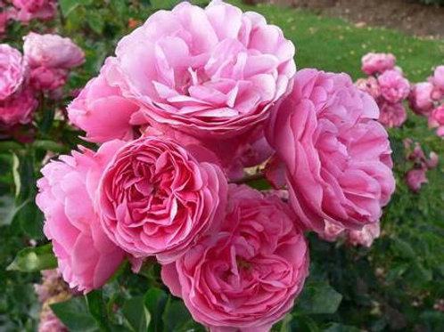 Роза флорибунда Леонардо да Винчи (горшок 5л)