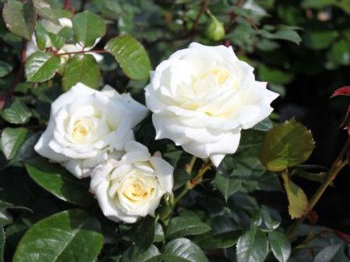 Роза флорибунда Шнеевитхен (горшок 5л)