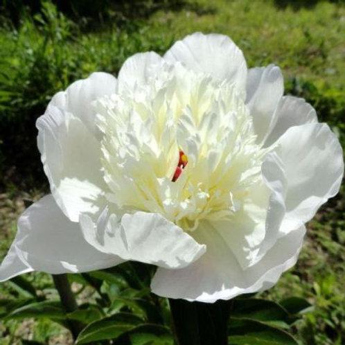 Пион травянистый Иммакули  (горшок 5л)