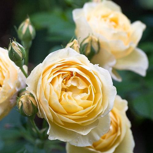 Английская роза (кустарниковая) Грехам Томас  (горшок 5 л)