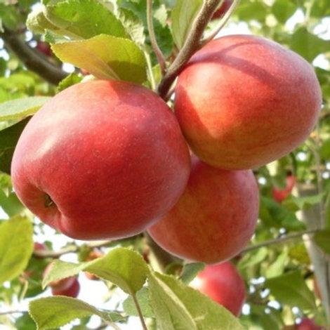 Яблоня Пепин Шафранный (горшок 7.5л)