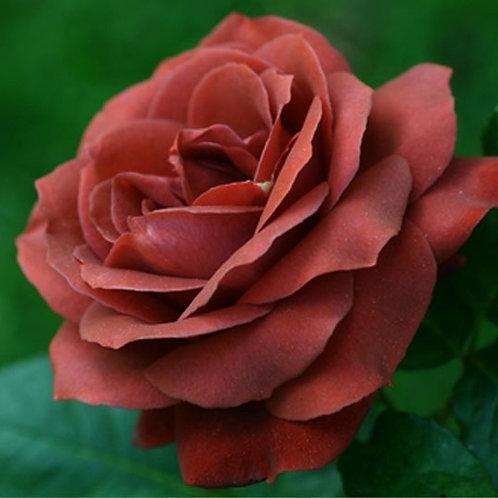 Роза чайно-гибридная Терракота (горшок 5л)