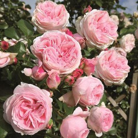 Роза плетистая Эден Роуз (горшок 5л)