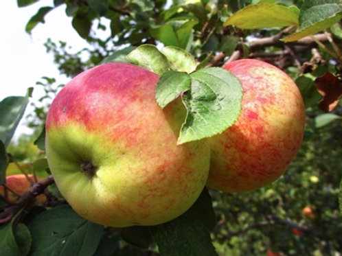 Яблоня Орловим  (горшок 10 л)