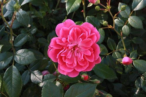 Роза флорибунда Венеда (горшок 5л)